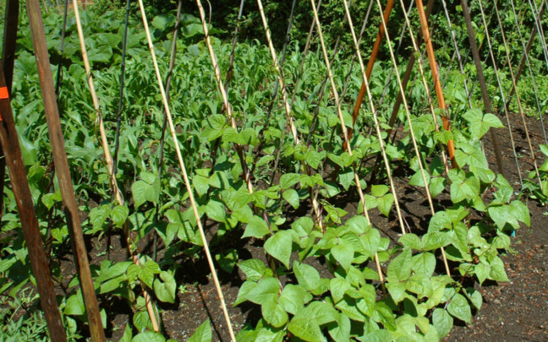 Plantare fasole in gradina sau camp